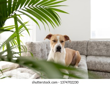 Young Athletic Short Haired Dog of Mixed Breed Relaxing on Gray Sofa