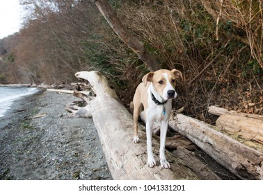 Young Athletic Tan Colored Dog Enjoying Winter Beach