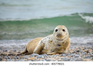 Young atlantic Grey Seal baby, Halichoerus grypus on the beach of island Helgoland, Dune, Germany in spring
