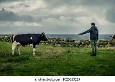 Young and attractive armenian man is standing in front of the cow on field, communication without words. Norway. Sea on background.