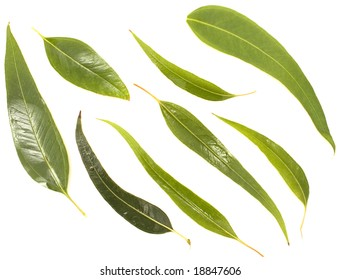 Young Australian gum leaves isolated on white