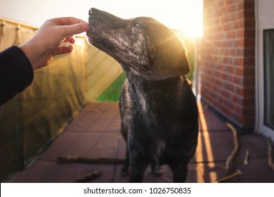 young australian shepherd dog puppy with big eyes gets some food as reward in front of beautiful golden sunset - feeding dog pet