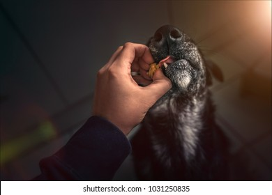 young australian shepherd dog puppy pet with big eyes eating delicious food given to him by person