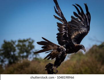 a young Australian Wedgetail Eagle in flight
