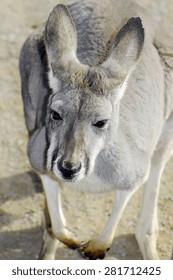 Young Australian Western Grey Kangaroo in Natural Setting, closeup.