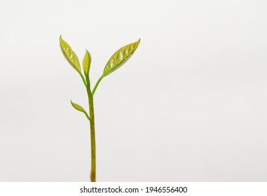 Young avocado plant isolated on white background