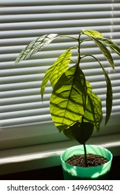 Young avocado tree in green pot on a window with shutters, selective focus