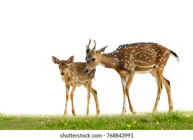Young axis deers family in grass over a white