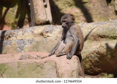 A young baboon
