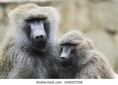 young baboon couple as two monkey lovers