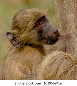 young baboon feeding