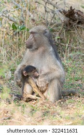A young baboon son considering whether to suckle or not