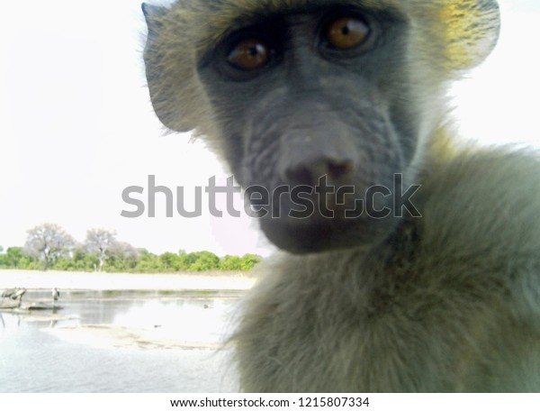 Young Baboon taken with a remote camera - the baboon is out of focus, but a lovely facial shot of an amazed, inquisitive baboon who triggered the camera Makololo- Hwange National park, Zimbabwe