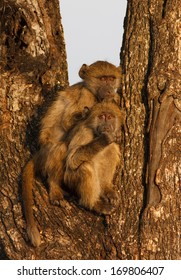 Young Baboons sitting in a tree in Kruger National Park at sunrise