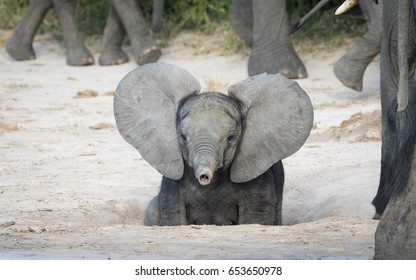 Young baby African Elephant with ears out and trunk up, Savuti area of Chobe National Park in Botswana