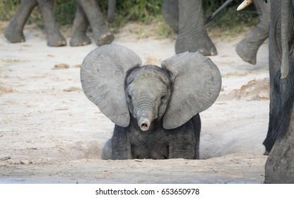 Elephant Ear Gorseller Stok Fotograflar Ve Vektorler Shutterstock