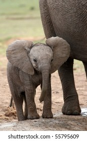 Young baby African elephant standing next to it's mother