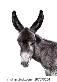young baby donkey isolated on white