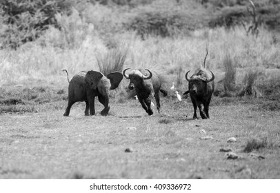 A young baby Elephant getting upset with a herd of buffalo, chasing them away. In monochrome.