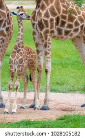 Young baby giraffe with its mother, African native animals