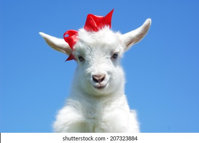 young baby goat with red bow-knot on sky background