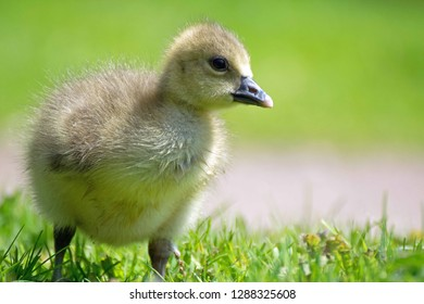 Young baby gosling