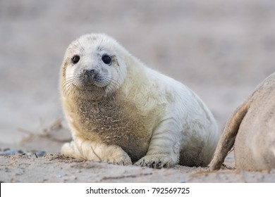 Young Baby Grey Seal on the beach of Helgoland, North Sea, Germany