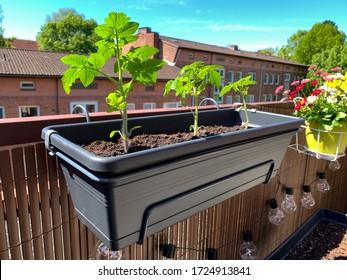 Junge Balkon Kirschtomaten Pflanzen wachsen in einem langen Plastikblumentopf auf einem Balkonzaun, die Tomaten im Balkon Garten wachsen