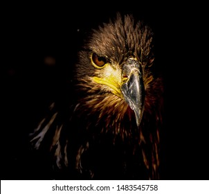a young bald eagle before head turns white