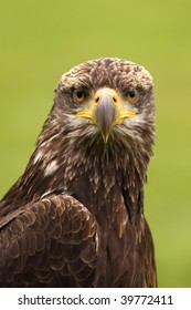 Young bald eagle looking at you
