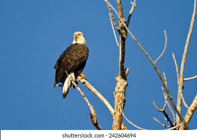Young Bald Eagle Perched in a Dead Tree