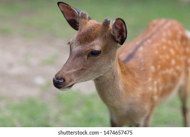 A  young Bambi deer with small horn standing in a park with green grass background