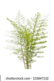 Young bamboo tree, tropical tree in the northeast of Thailand isolated on white background