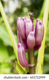 Young Banana blossom with small bananas in Martinique