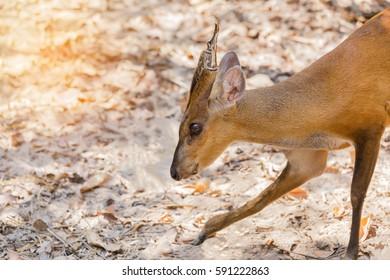 young barking deer (Muntiacus muntjak) wildlife in the natural