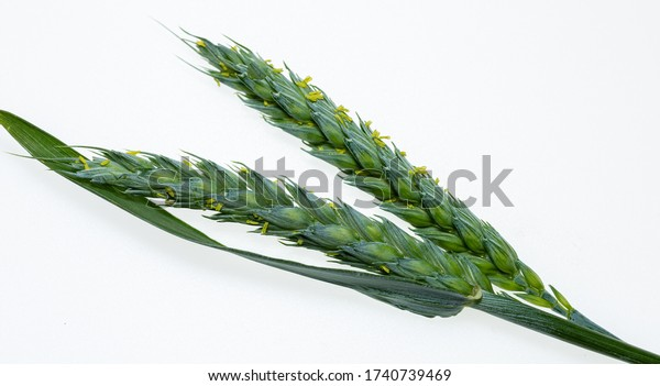 Young barley Green cereal. Photo on a white background. Barley for health. Macro picture. Isolated from background. Sweet grass.
