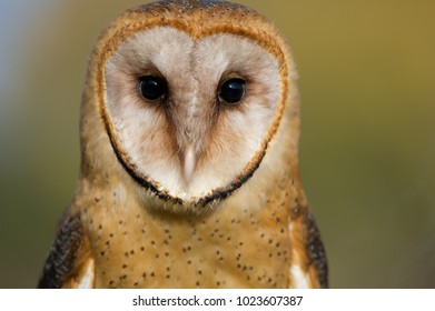 Young barn owl close-up