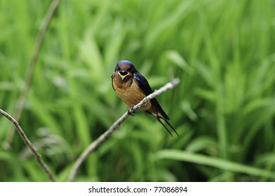 Young barn swallow with its beak open calling for mom.