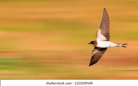 young barn swallow flies fast
