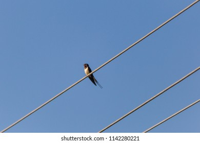 young barn swallow on a free-hanging cable