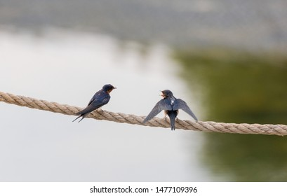 Young Barn Swallow perched on a rope at Beijing, China,