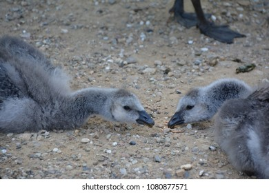 young barnacle geese in the sand (Germany)