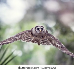 Young Barred Owl flying in Florida woods
