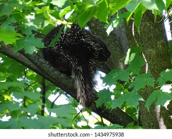 A young, bashful porcupine hiding in the branches of a maple tree and facing partially away from the camera during the spring