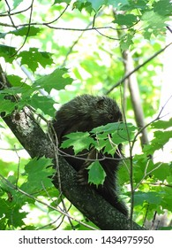 A young, bashful porcupine hiding in the branches of a maple tree while watching the camera with face partially obscured by leaves during the spring