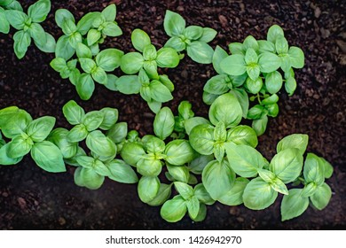 Young basil seedlings  in peat substrate. Close view.