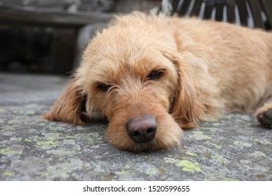 A young Basset fauve de Bretagne dog