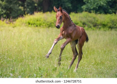 A young bay foal galloping on the field