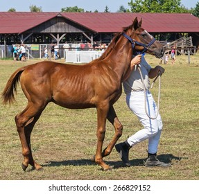 Young bay horse