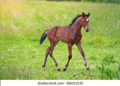a young bay Oldenburg Foal with a small white spot is running on a green summer meadow